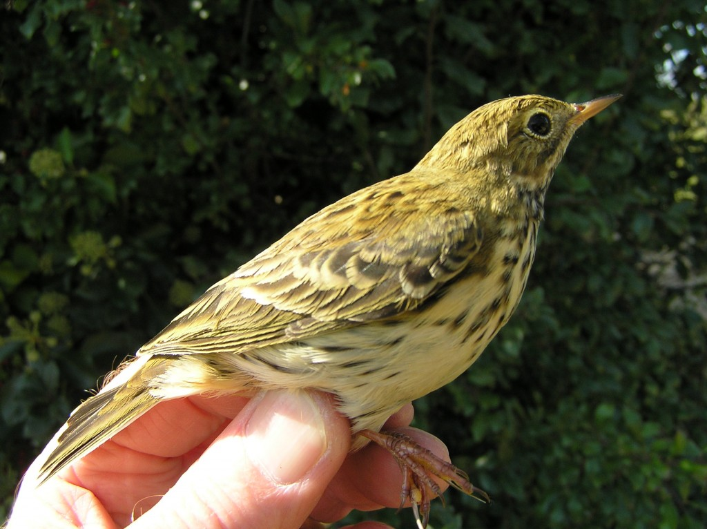 Meadow Pipit (R H Peart)