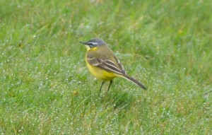 Blue-headed Wagtail April 2011 (Kevin Lane)