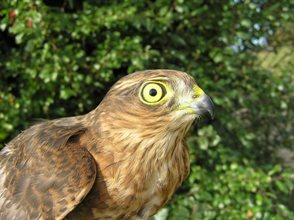 Sparrowhawk (RH Peart)