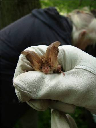 Brown Long-eared Bat (Carolyn Couzens)