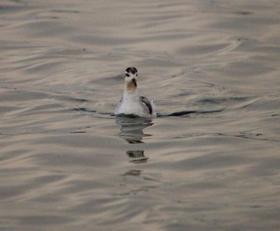 Grey Phalarope (Chris Parnell)