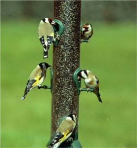 Goldfinches (Dave Kjaer)