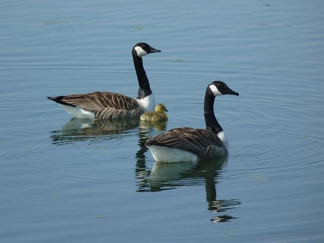 Canada Geese (Chris Parnell)