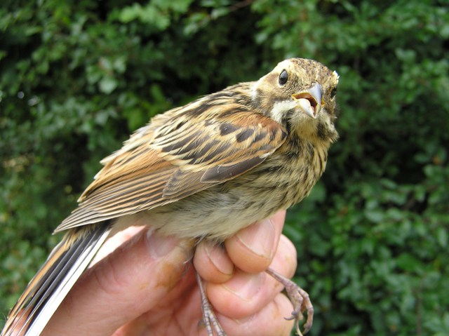 Reed Bunting (Roger Peart)