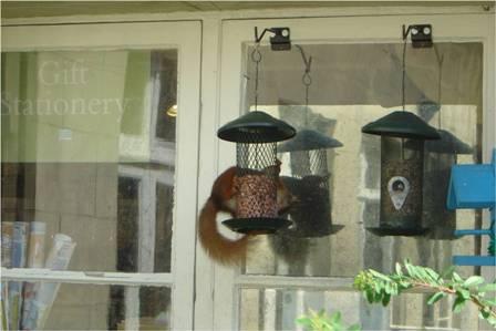 Red Squirrel (Carolyn Couzens)