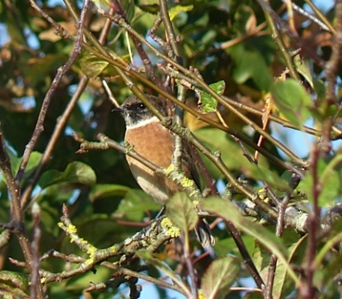 Stonechat (Chris Parnell)