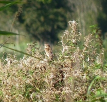 Whinchat (Chris Parnell)