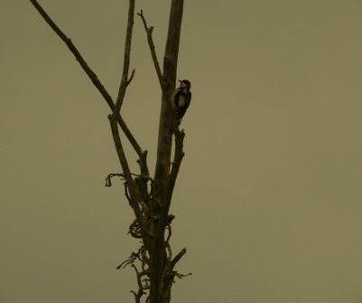 Great Spotted Woodpecker (D.Couzens)