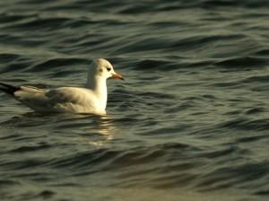 Black-headed Gull (Dominic Couzens)