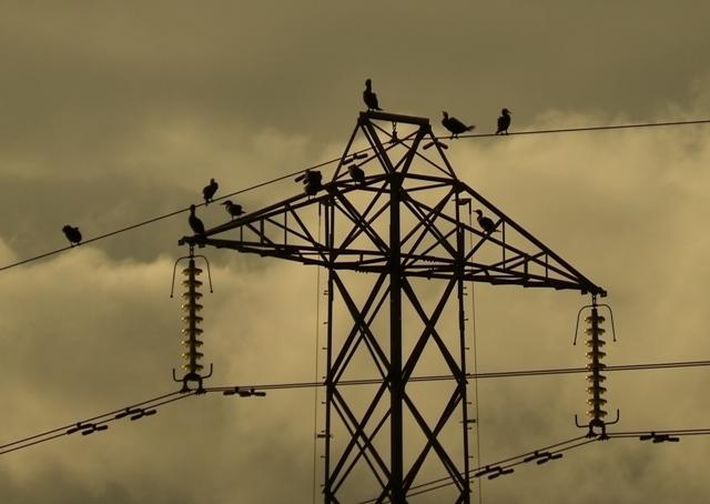 Cormorants (Dominic Couzens)