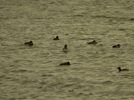 Tufted Ducks (Dominic Couzens)