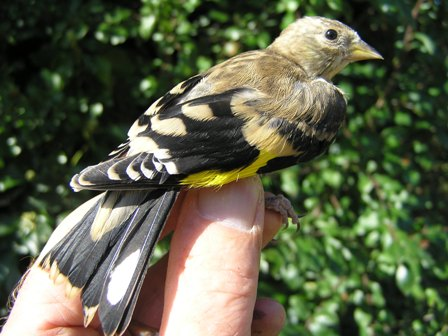 Goldfinch (Roger Peart)