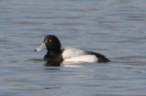 Greater Scaup (Alan Pearce)