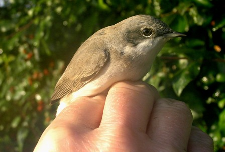 Lesser Whitethroat (Roger Peart)