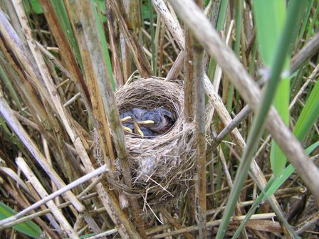 Reed Warbler nest and young (Roger Peart)