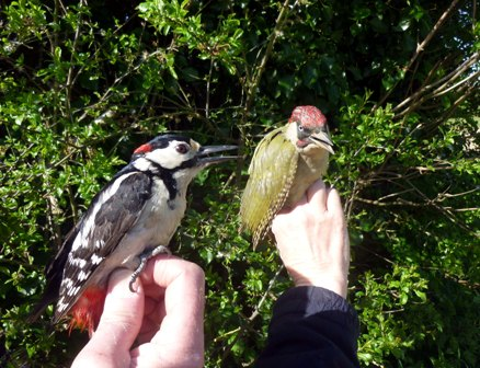 Woodpecker Double (Roger Peart)