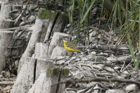 Blue-headed Wagtail (Alan Pearce)