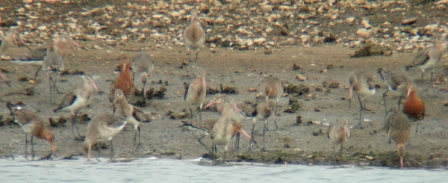 Black-tailed Godwits (Lorne Bissell)
