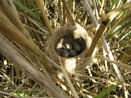 Reed Warbler nest (Roger Peart)