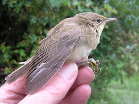 Reed Warbler (juvenile), Roger Peart