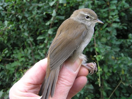 Cetti's Warbler (Roger Peart)