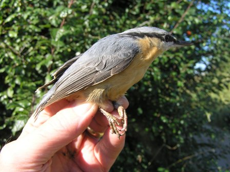 Nuthatch (Roger Peart)