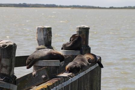 New Zealand Fur Seals (Dominic Couzens)