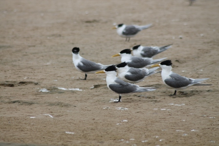 Crested Terns (Dominic Couzens)