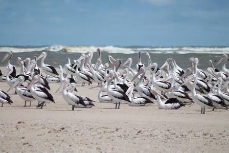 Australian Pelicans (Dominic Couzens)