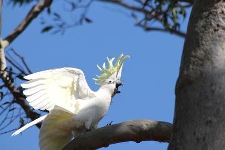 Sulphur-crested Cockatoo (Dominic Couzens)