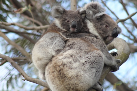 Koalas (Dominic Couzens)
