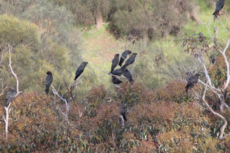 Glossy-black Cockatoos (Dominic Couzens)