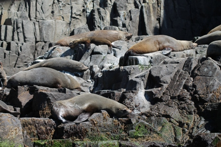 Australian Fur Seals (Dominic Couzens)