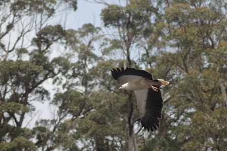 White-bellied Sea Eagle (Dominic Couzens)