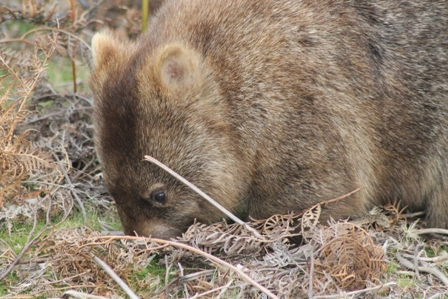 Common Wombat (Dominic Couzens)