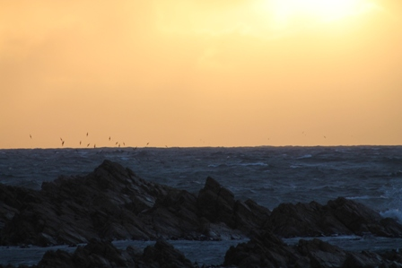 Short-tailed Shearwaters at dusk (Dominic Couzens)