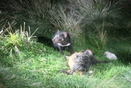 Tasmanian Devil (Dominic Couzens)