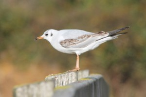 Black-headed Gull (Dominic Couzens)