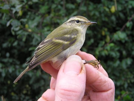 Yellow-browed Warbler (Roger Peart)