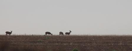 Roe Deer (Dominic Couzens)