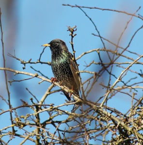 Starling (Dominic Couzens)