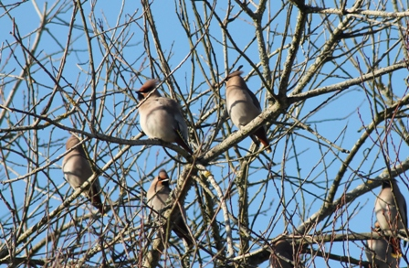 Waxwings (Dominic Couzens)