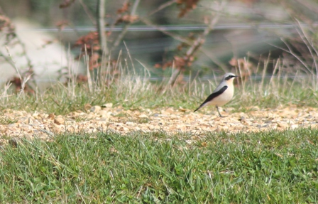 Northern Wheatear (Dominic Couzens)