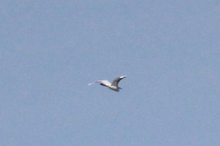 Great Egret (Alan Pearce)