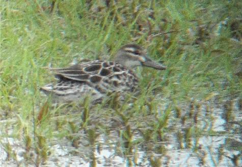 Garganey, female, Longham Lakes, 23/4/14 (Lorne Bissell)