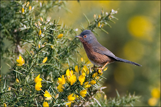 Dartford Warbler, male