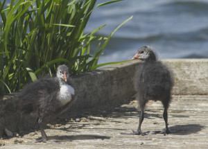 Coot chicks, Longham Lakes, 25/7/15 (Lorne Bissell)