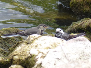 Pied Wagtail and youngster