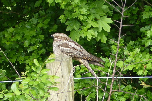 Nightjar, Longham Lakes, 11 May 2016 (Trevor Wilkinson)