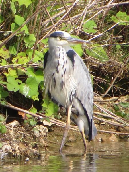 Grey Heron, Longham Lakes, Dorset 11/08/16 (Roger Peart)